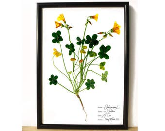 Bermuda buttercup botanical print - Botanical art - Yellow flower print - Yellow floral print - Science decor