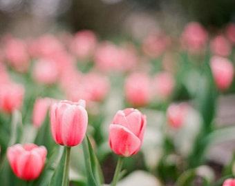 Spring tulips, nature photography, garden decor, wall art, wall decor