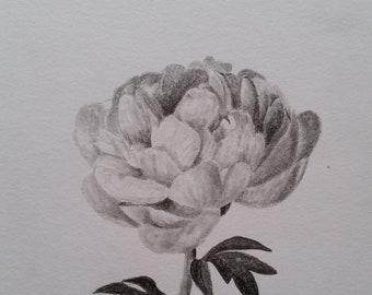 Graphite pencil drawing - 'Peony'