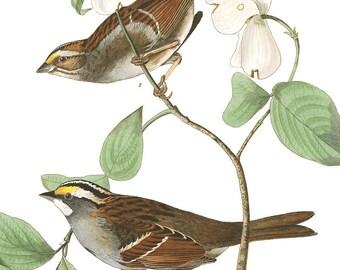 Antique Bird Print - White Throated Sparrow illustration - Audubon print - 8x10 11x14