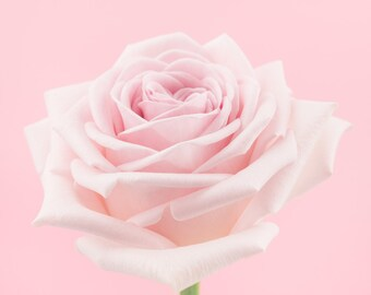 pink rose flower photography print, Wall Decor, Flower Wall Art, Floral, Home Decor, Fine Art Photography Print
