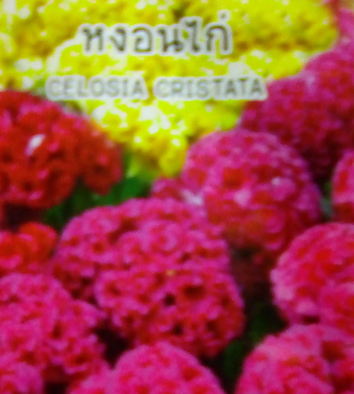 Celosia Cristata Cockscomb 02 Gram Flower Plant Seeds Etsy