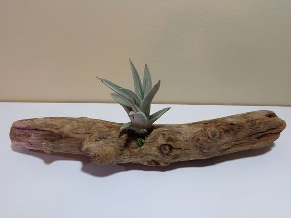 17,5cm Triangle Driftwood Air Plant Holder 7/'/' Driftwood Mobile Beach Decor Small Table Decor Wood Planter Air Plant Stand DIY