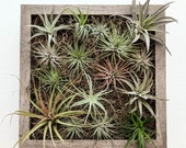 Air Plants Framed Vertical Wall Garden with Multiple Air Plants and Spanish Moss  shadowbox 2 sizes and 5 frame color options