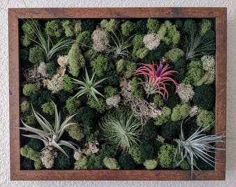 Framed Vertical Wall Garden with Multiple Air Plants , Reindeer Moss and Lichen  Best Seller 12x15 inch Shadowbox  - 4 Frame Color Options