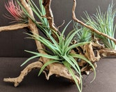 Hardwood Root Ball Air Plant Holder Display with Variety of 6 Air Plants