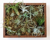 Air Plants Framed Vertical Wall Garden with Multiple Air Plants and Spagnum Moss  shadowbox 2 sizes and 5 frame color options