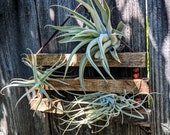 Large Hanging Wood & Suede Air Plant Ladder with your choice of three, four or five rungs. Large Plants!