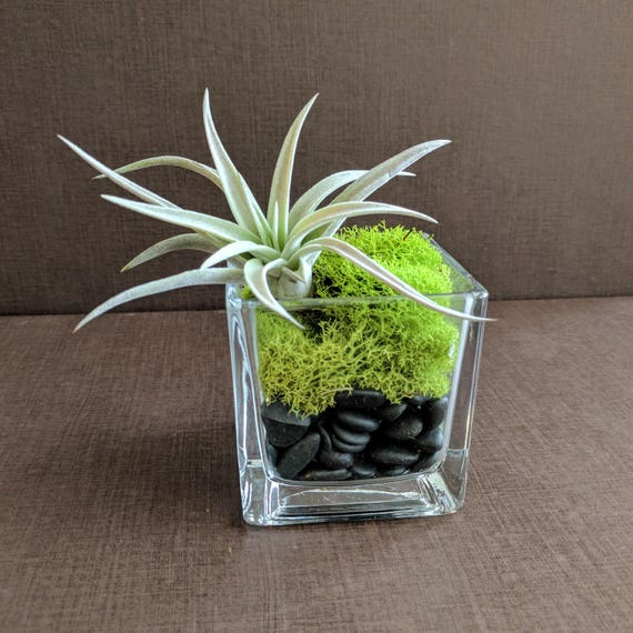 Air Plant Square Glass Vase Terrarium With Green Reindeer Moss Etsy