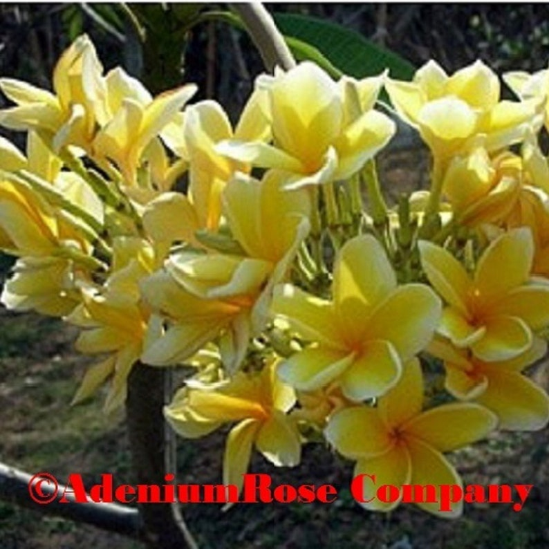Plumeria Plant Dwarf  Oriole Yellow Hawaiian Lei Flower plant