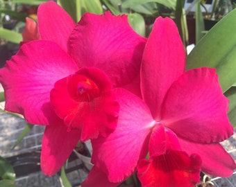 Lc BARE ROOT Wrigley  mature size  orchid plant live Cornelia x Lc