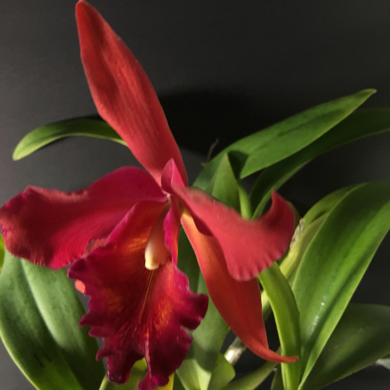Plante orchidée Potinara Potinara Potinara Snookie - racines nues 4e236d