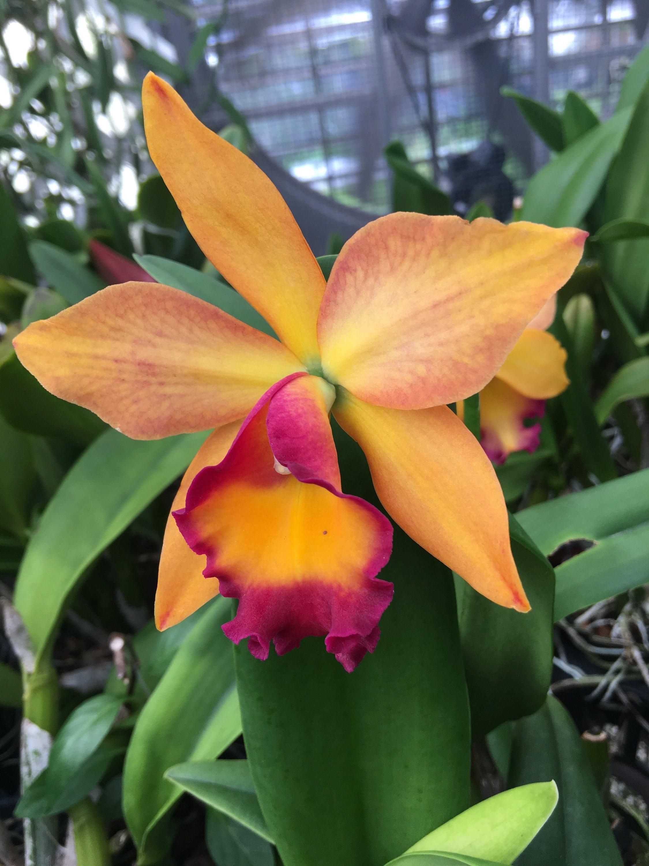 Plante orchidée Potinara chef Orange douce «Orange douce» nu nu nu racine de975c