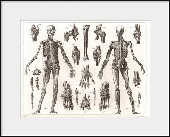 1850 anatomische ILLUSTRATION des menschlichen Bänder und   Etsy