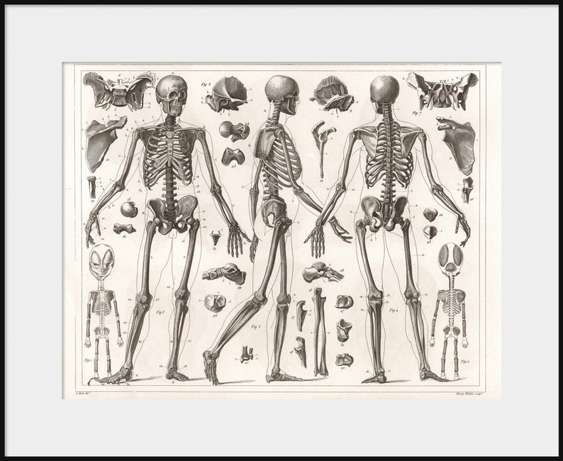 1850 Anatomy Of Human Skeleton Anatomical Drawing New Fine Etsy