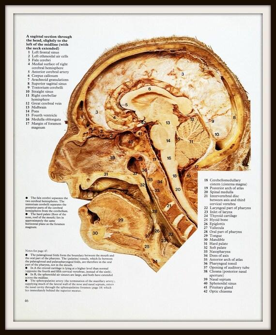 Impresiones de 2 x de la anatomía de cráneo humano 1977. | Etsy