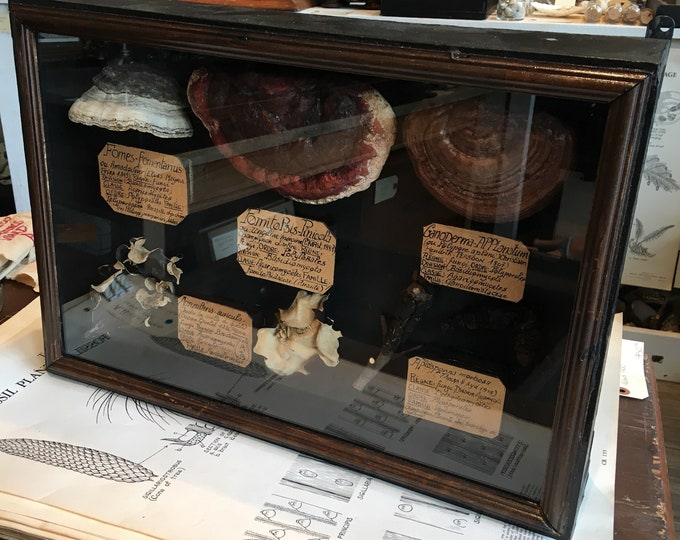 6 mushrooms display in frame antique museum style