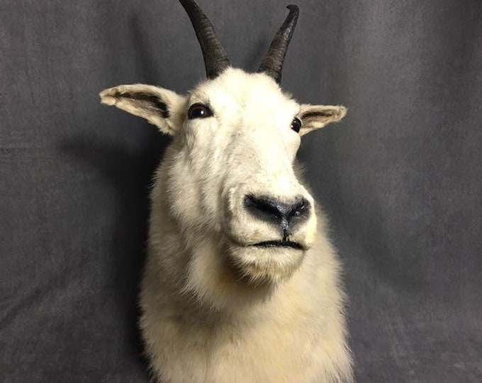 Vintage rocky mountains goat taxidermy