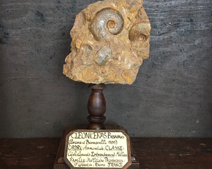 Fossil shell, French antique museum style mount on wood base
