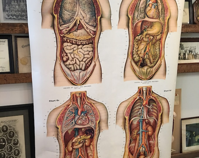 American Frohse Anatomical Chart antique 1918 torso, chest, abdomen, 4 layers