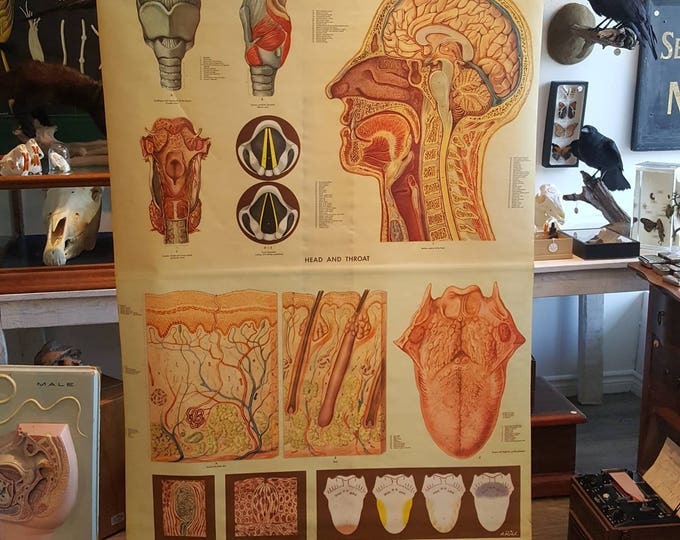 Charter vintage anatomical head, neck, throat, skin