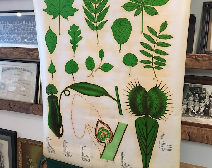 Vintage 1967 botanical chart, the leaf