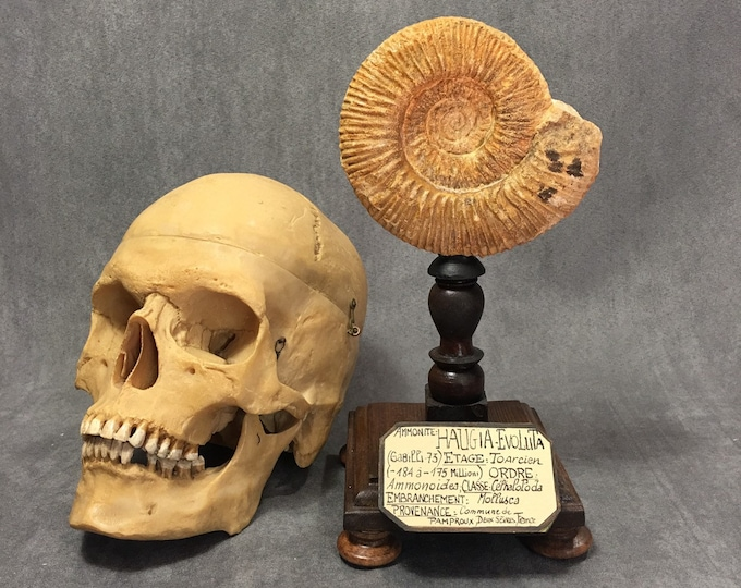 Fossil ammonite on wood display, antique French museum style
