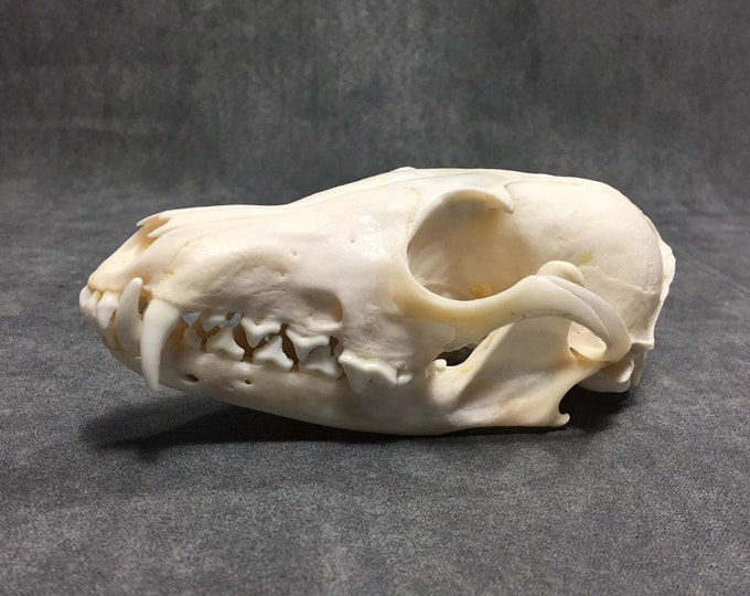 Real fox skull taxidermy