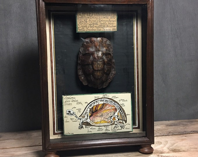 Turtle shell in shadow box French museum antique style
