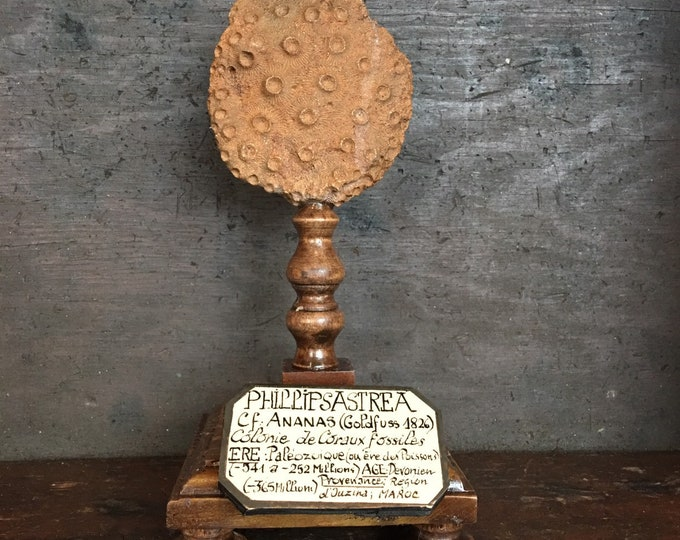 Fossil coral, French antique museum style mount on wood base