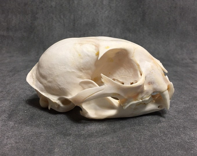 Real lynx skull taxidermy bone