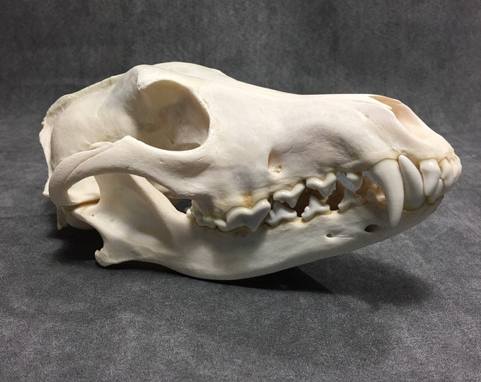 Real coyote skull taxidermy