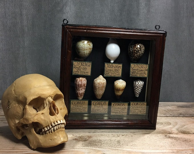 Framed shells with identification cards, French museum antique style