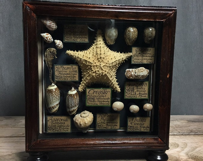Framed shells seahorse starfish with identification cards, French museum antique style