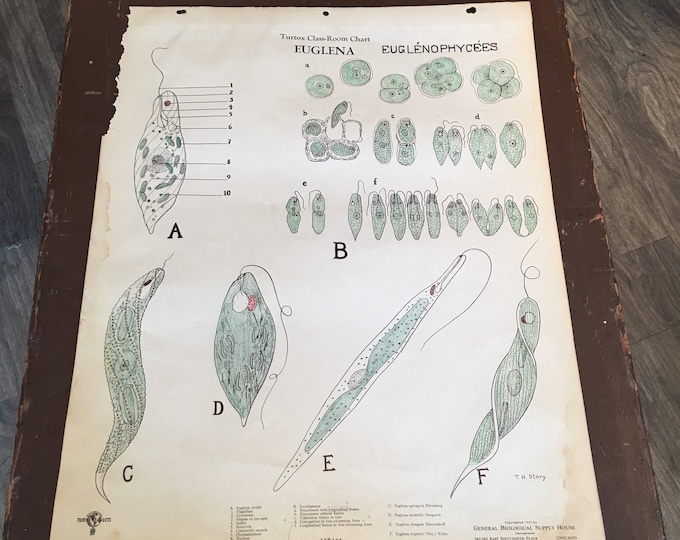 Antique 1930-1940 anatomical chart biological botanical