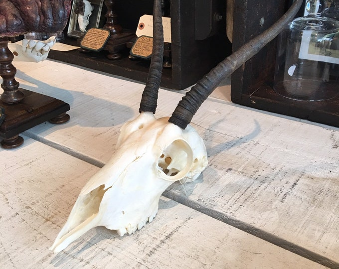 Real female springbok skull real bone taxidermy