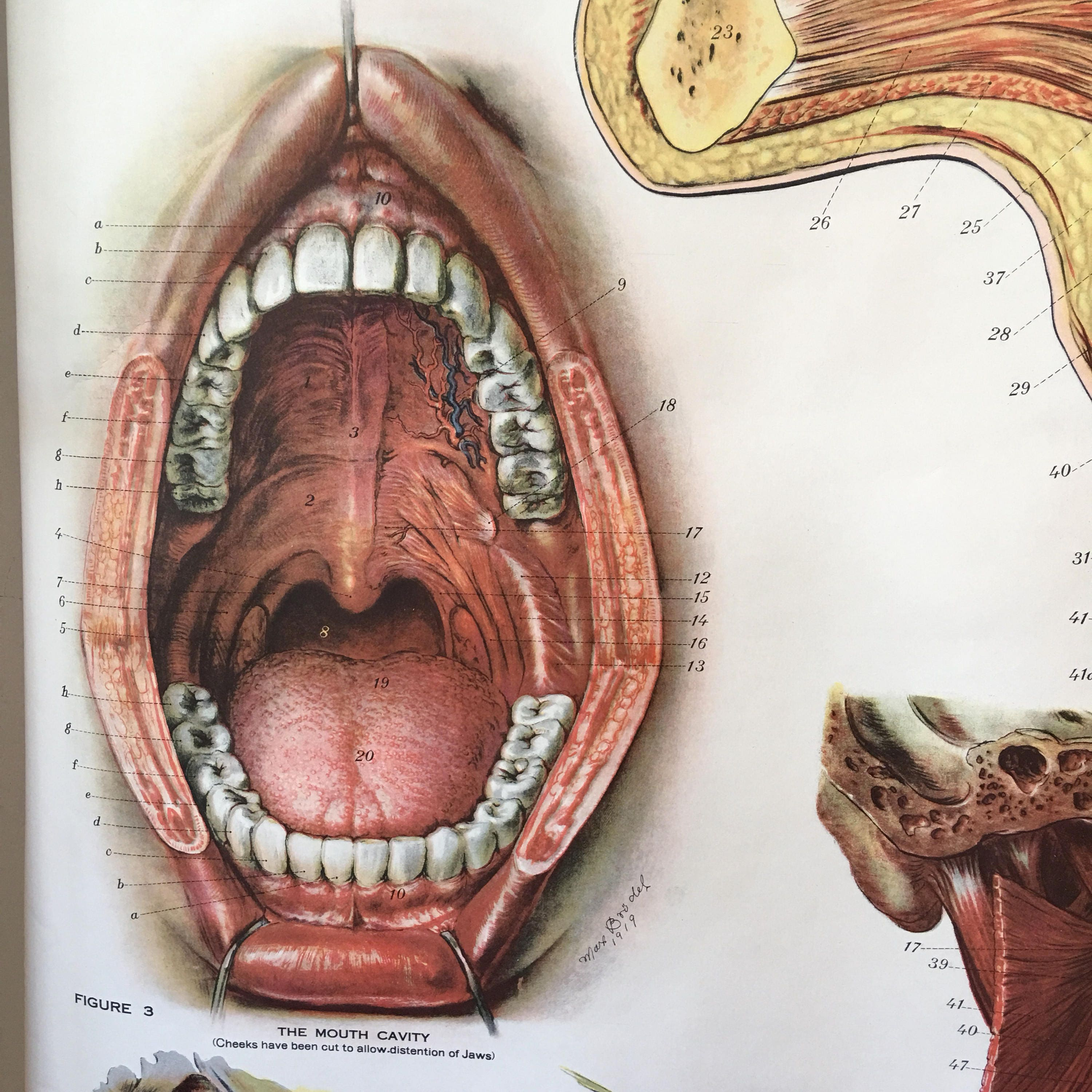 American Frohse Anatomical Chart antique 1918 head jaw throat mouth