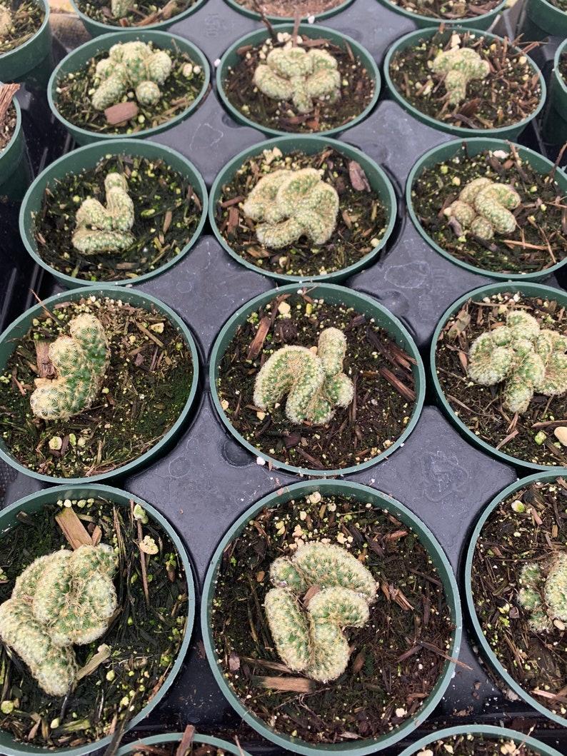 Mammillaria Elongata Cristata \u2018Brain Cactus\u2019 succulent plant 4 pot