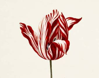 Tulip Flower Art Print, Botanical Art Print, Flower Wall Art, Flower Print, Floral Print, Tulip Art, red, white, Tulipa culta