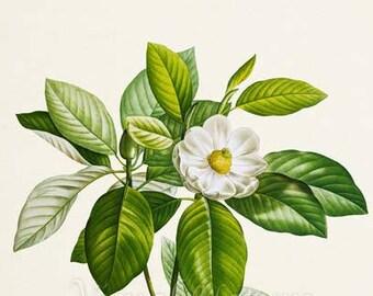 Sweetbay Magnolia Flower Art Print, Botanical Art Print, Flower Wall Art, Flower Print, White Flower Art Print, Home Decor