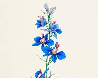 Rocket Larkspur Flower Art Print, Botanical Art Print, Flower Wall Art, Flower Print, Floral Print, Home Decor, blue flower art print