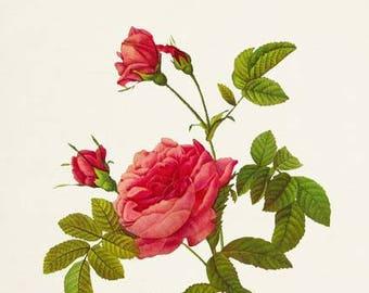 Thornless Rose Flower Art Print, Botanical Art Print, Flower Wall Art, Flower Print, Floral Print, Red Rose Art Print, Home Decor