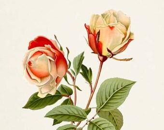 Safrano Rose Flower Art Print, Botanical Art Print, Flower Wall Art, Flower Print, Home Decor, Rose Art Print