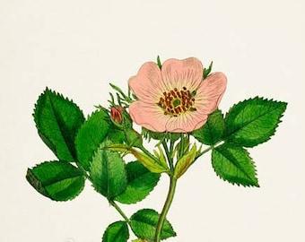 Sweet Briar Rose Flower Art Print, Rose Botanical Art Print, Flower Wall Art, Flower Print, Floral Print, pink