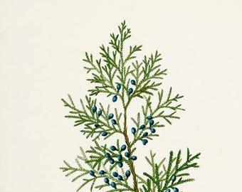 Red Cedar Tree Art Print, Botanical Art Print, Red Cedar Tree Wall Art, Botanical Print, Home Decor, green art print