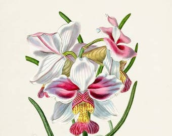 Vanda Teres Orchid Flower Art Print, Botanical Art Print, Flower Wall Art, Flower Print, Floral Print,white,pink, yellow orchid flower print