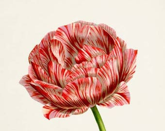 Botanical Print, Botanical Art Print, Flower Wall Art, Flower Print, Floral Print, Tulip Art, red, white, Tulipa culta