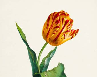 Yellow and Red Tulip Flower Art Print, Botanical Art Print, Flower Wall Art, Flower Print, Tulip Art Print, red, yellow, Tulipa culta