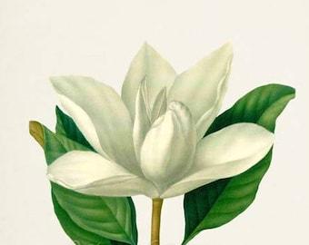 Southern Magnolia Flower Art Print, Botanical Art Print, Flower Wall Art, Flower Print, White Flower Art Print, Home Decor, Bull Bay