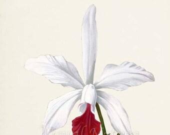 White Laelia Flower Art Print, Botanical Art Print, Flower Wall Art, Flower Print, Floral Print, Home Decor, Orchid